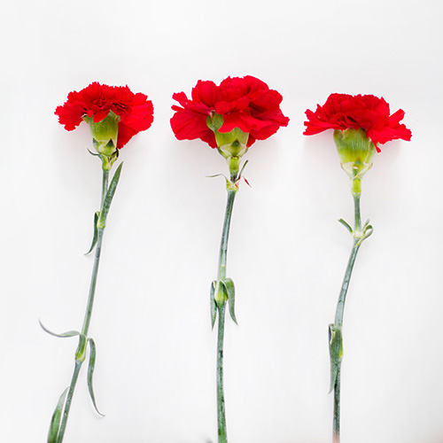 Three red carnations on a white surface