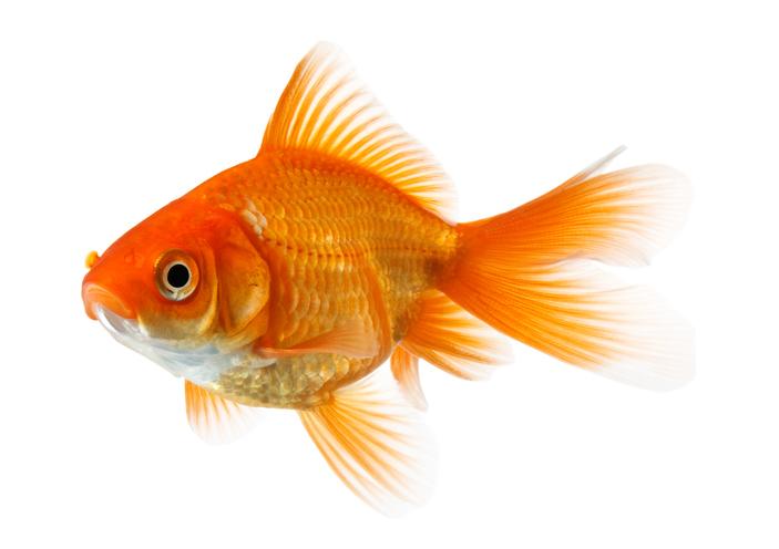 Une image d'un poisson rouge.