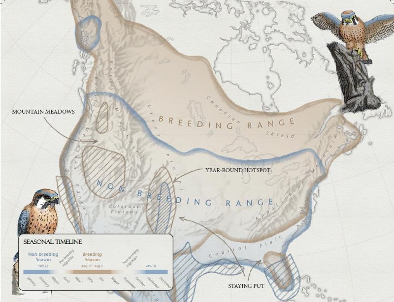Capture d'écran de la carte du mois montrant l'aire de répartition de la crécerelle d'Amérique.