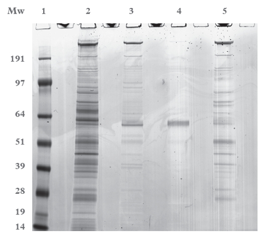 SDS-PAGE of the resin samples from the CIP study 1 (post three process cycles). Lane: 1. SeeBlue +2 molecular weight marker; Lane 2: 20% ethanol, 1 M Acetic acid; Lane 3: 3 M guanidine hydrochloride; Lane 4: 3 M guanidine thiocyanate; Lane 5: 3 M guanidine carbonate. All samples were prepared with reducing agent and loaded neat (20 μL/well)