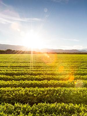 sole attraverso un campo di girasoli