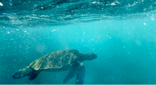 turtle power! I met this turtle in the oceans of Maui