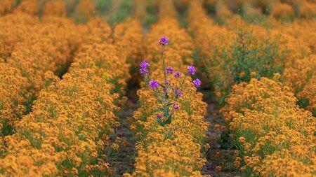 purple flowers in field of yellow flowers