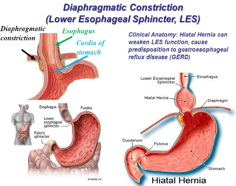 Diaphragm illustration