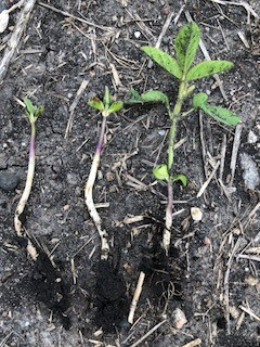 These soybean plants were growing side-by-side but are at totally different growth stages. The two small plants struggled to emerge through clumps of crop residue.