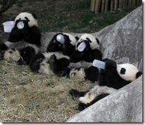 Pandas drinking from bottles