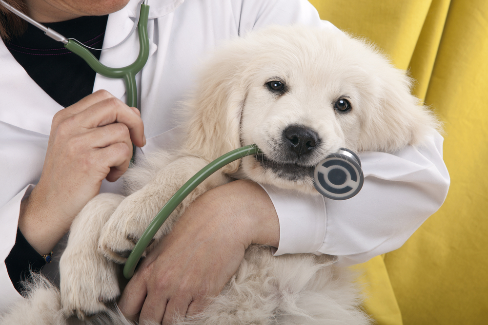 Shutterstock_97664525 golden retriever puppy playing with a stethoscope vet