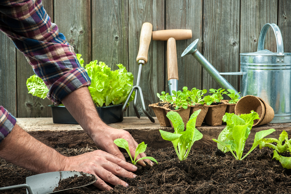 Shutterstock_236164732 Farmer planting young seedlings of lettuce salad in the vegetable garden