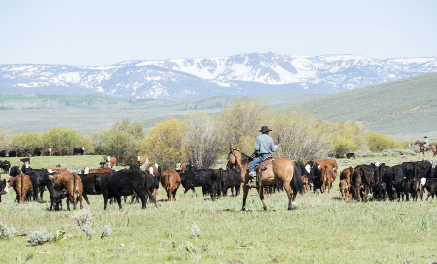 Picture of bringing in the herd during an old-fashioned cattle drive