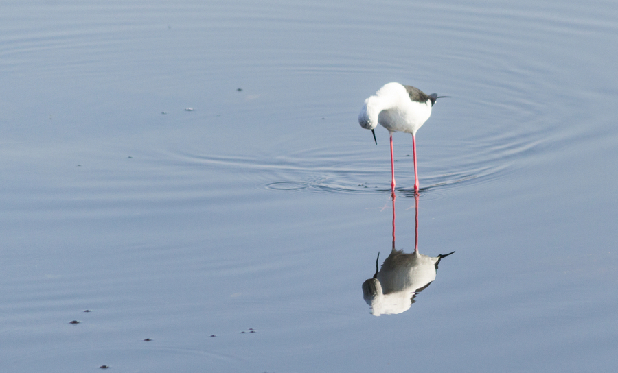 Bird looking at reflection in water