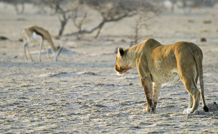 Gazelle oblivious to a nearby lioness