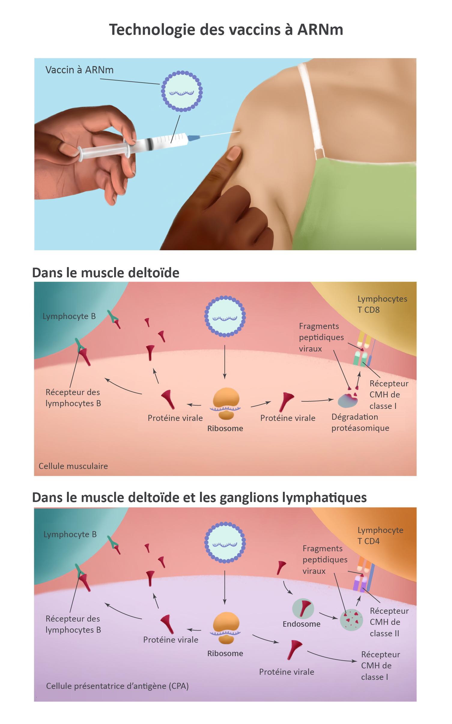 Le vaccin à ARNm est injecté dans le muscle de la partie supérieure du bras, provoquant des réactions immunitaires. Les détails sont décrits dans les paragraphes ci-dessous.