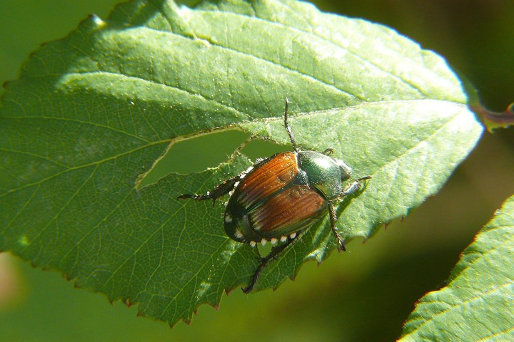Japanese beetles insect behavior