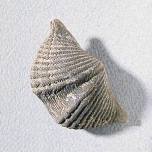Mucrospirifer thedfordensis fossil