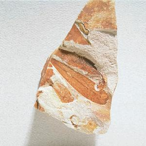 Glossopteris sp. fossil