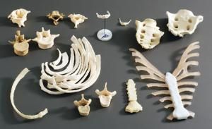 Individual replica human bones for comparison in the classroom