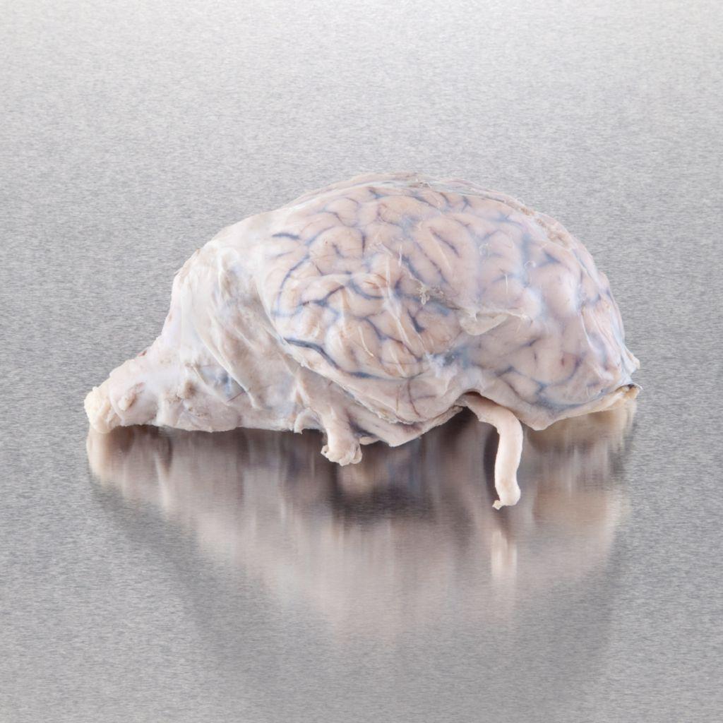 Ward's Pure Preserved Sheep Brain