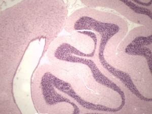 Brain microscope slide