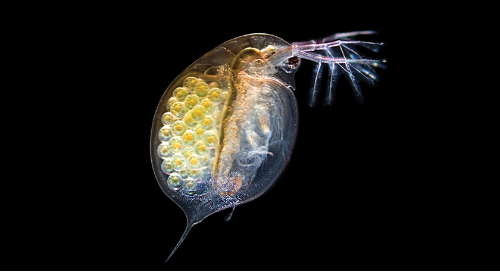 How to teach with Daphnia: A free guide for working with and caring for your live materials.