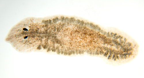 How to teach with Planaria: A free guide for working with and caring for your live materials