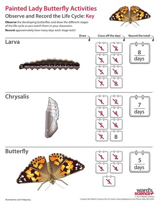 Butterfly life cycle worksheet - Answer Key