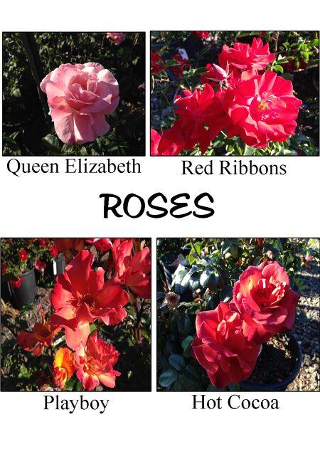 evergreen nursery it is rose time