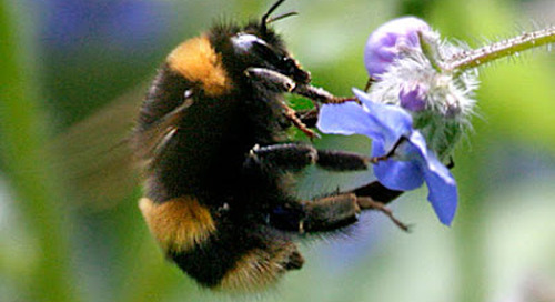 Bumble Bee Conservation