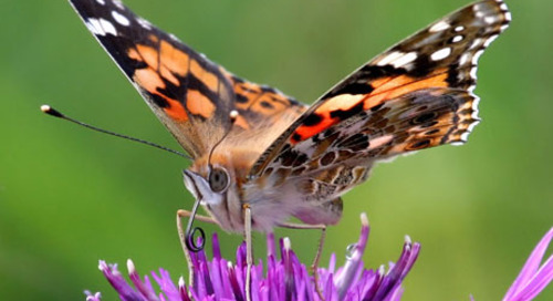 BUTTERFLY CONSERVATION IN THE UK