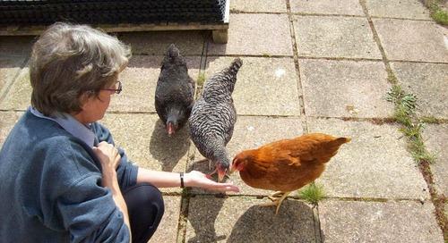 Chickens update