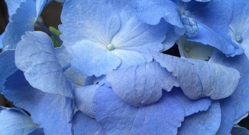 Colorful inspiration: gorgeous blue hydrangeas!