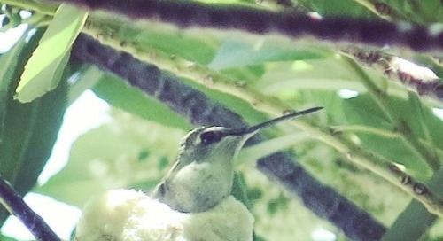 #mama #humming #bird #nest