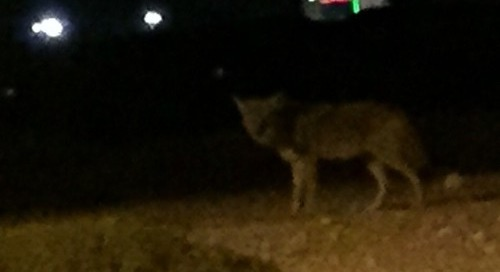 Coyote in our neighborhood tonight while driving home.