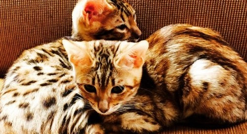 New family members. Bengal cats from Sante Fe Bengal Cattery
