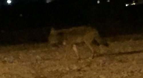 Nice looking coyote in our neighborhood tonight while driving...