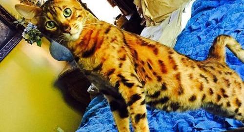 #Pauley #boy #Bengal #cat #catsofinstagram #cutie