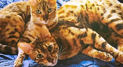 #Bengal #love #Mickey and #Pauley #catsofinstagram #cuties