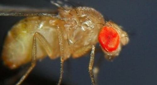 A Crash Course in CRISPR-Cas9 Editing in Drosophila