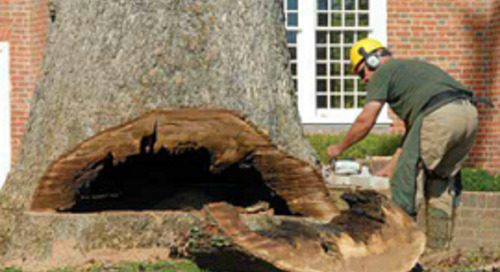 Davey Chesapeake Removes One of Maryland's Largest White Oak Trees