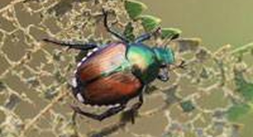Are Japanese Beetles Doing Damage to Your Tree Leaves?