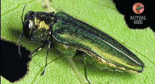 The 101 on Emerald Ash Borer