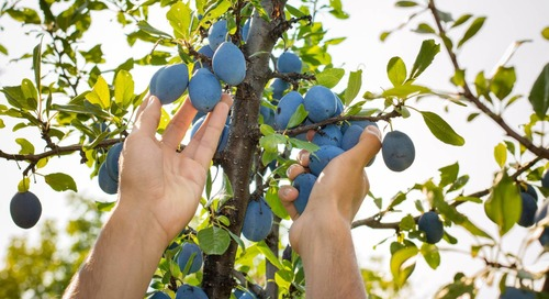 Should I Be Pruning Fruit Trees in Summer?