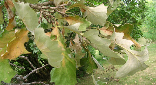 Avoid Pruning Oak Trees in Summer – Oak Wilt Causes