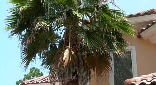 The Best Way to Prune Palm Trees (Step-by-Step)