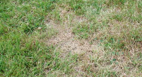 My Lawn Is Turning Brown in Summer… What Do I Do?