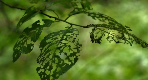 How to Stop Caterpillars and Cankerworms with Tree Banding