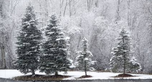 Salt Tolerant Evergreen Trees (By Zone and Region)