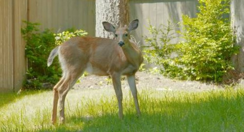 Stop Deer from Eating Arborvitae Trees (Even Emerald Green)