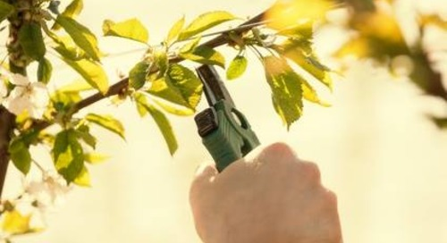 Pruning Trees in Spring – Is It OK to Do?