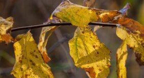 Newly Planted Tree Leaves Turning Brown, Yellow or Wilting? Try…