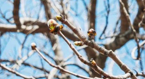 Uh Oh - My Tree Has Buds, but No Leaves?